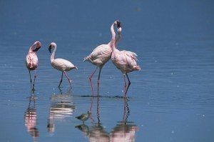 Zwergflamingos im Lake Nakuru (Kenia).